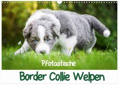 Hier online bestellen! Border Collie Welpen, Lamb, Goats, Outdoor, Animals, Products, Dog Owners, Cute Puppies, Wall Calendars