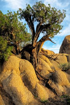 """Old Juniper - Joshua Trees are the stars at California's Joshua Tree National Park, but other trees make a good showing too. This Juniper is a standout that has planted itself firmly in the rocks and is well weathered. http://jhp.photos . <a href=""""http://jhp.photos"""">John Hight Photography</a> ..."""
