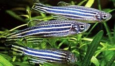"""Zebra Danio - The Care, Feeding and Breeding of Zebra Danio Fish  Known to jump and need a school of at least 5-6 fish.  Great community fish with minimum tank size at 10g.  Very hardy.  Tolerates temps 65 - 77 degree water.  Will grow to 2.5"""""""