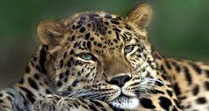Katze, Wild, Tier, Raubtier, Tier, Leopard, Pfote, Kopf, Gesicht, Augen, Schnurrhaare, Ohren, und zwischen Vektorgrafik