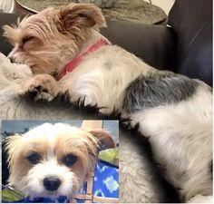 Lost Dog - Yorkshire Terrier Yorkie - Cedar Park, TX, United States