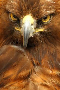 fairy-wren:  golden eagle (photo by alan hinchliffe)