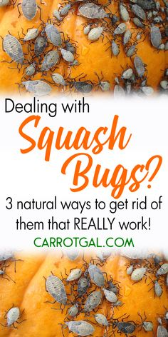 Dealing with squash bugs? Here are 3 natural ways to get rid of them that REALLY work. #gardeningproblems #squashbugs #vegetablegarden | Carrotgal.com