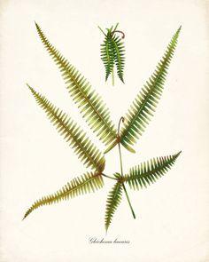 Fern Botanical Study No. 7 · helecho · fern · samambaia · farne · fougère · felci · varen ·