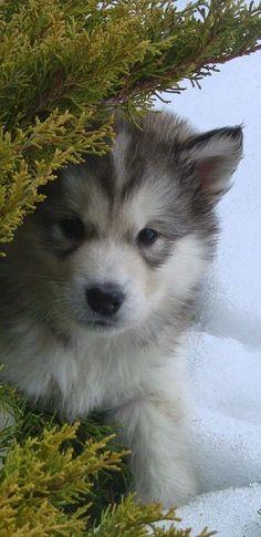 janetmillslove: Alaskan Malamute Dog moment love
