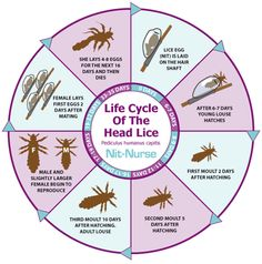 life cycle of lice - Bing images