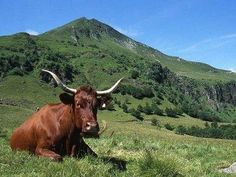 Cantal - vache Salers
