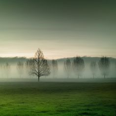 Arboreal sentinels in the mist