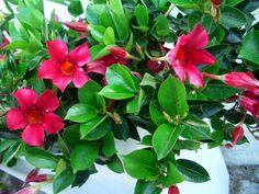 plantas trepadeiras com flores - Mandevilla splendens Flower Power, Landscape, Flowers, Plants, Climbing Roses, About Plants, Wall Trellis, Palm Plants, Landscaping