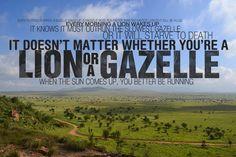 lion chasing gazelle - Google Search