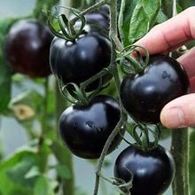 BLACK tomato Seeds very Tasty Vegetables Nutritive Fruits Seeds 30 seeds/pack(China (Mainland))