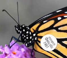 How to find and grow milkweed for monarchs in Portland | OregonLive.com