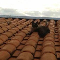E o Tico se esbaldando no telhado. O passatempo preferido dele hahaha Bom dia! #fofocat #instacat #liberdadeparaotico by vboggione http://ift.tt/1XJKJls