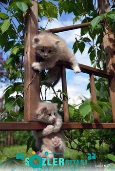 Minik bir kedi için yasak yoktur  :D  Bu küçük kalp her zaman oynamaya hazır  Yumuşak patileriyle her zaman sırnaşık Şaşkın gözleriyle sevimli serseri ..  Daha fazlası için: http://sozlersitesi.com