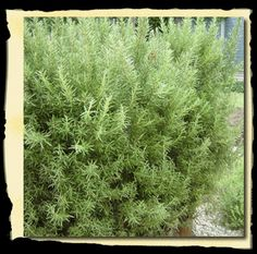 Rosmarinus officinalis 'Tuscan Blue' - Upright Rosemary - {Plants For Texas®Texas Born, Texas Tested For Texas Gardens™}