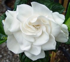 Gardenia I love the scent of the flower --It's intoxicating