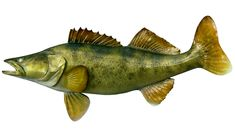Walleye Fishing Tips - Tips on How to Catch Walleye
