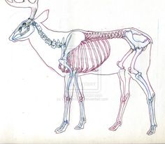 http://fc04.deviantart.net/fs71/i/2009/346/6/f/Deer_Skeleton_Study_by_UnamedKing.jpg