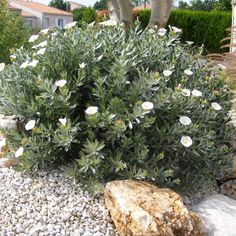 River house Silver Bush - Convolvulus Cneorum Acid Reflux Acid reflux is made up of chronic symptoms Dry Garden, Garden Shrubs, Garden Pots, Garden Landscaping, Garden Bed, Landscaping Ideas, Coastal Gardens, White Gardens, Australian Native Garden