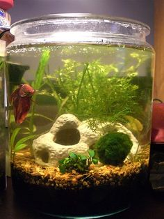 2 gal cookie jar, $9.  Do 1-50% water change and 1-100% water change in a 1 week period.  About every 3rd day.  Plants in soil work best so fish don't get caught in roots.  Try this out without a fish for a week if using plants and test water.