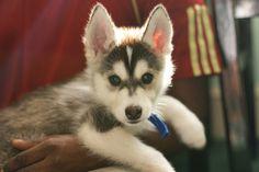 Husky puppy <3 <3 <3