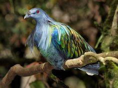 Nicobar Pigeon.  Looks like Van Gogh painted it.