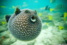 Guineafowl Pufferfish ...he just looks like a big ol' happy fish :D