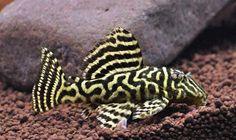 L340 Hypancistrus sp.  A beautiful new species of plecostomus!