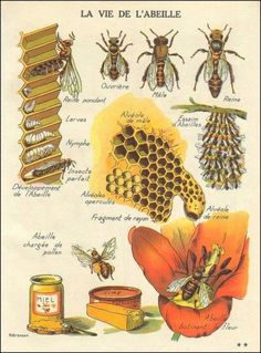 Burnley Farm Apiary is a honey bee farming company that specilizes in honey bees and honey production. We have lots of honey for sale. Illustration Botanique, I Love Bees, Bee Art, Bee Happy, Save The Bees, Bees Knees, Queen Bees, Bee Keeping, Botanical Prints