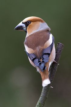 Hawfinch! by Tom Kruissink on 500px