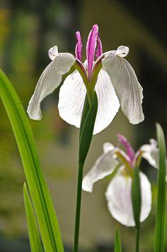 Japanese Iris Flowers