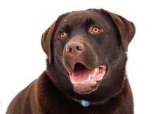 Find Labrador Retriever Pictures Online to Help You Decide Best Dog Photos, Cute Dog Photos, Funny Dog Pictures, Cute Animal Pictures, Puppy Pictures, Chocolate Labrador Retriever, Pink Dog, Tier Fotos, Dog Breeds