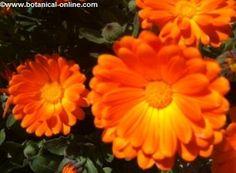 calendula flor y propiedades