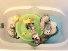 Rescue Kitten Adopted By Five Ferrets Thinks It's A Ferret Too | Bored Panda