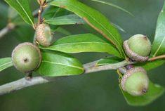 Laurel Oak Acorn