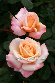 Pure Bliss - long lasting pinky peach roses.  Scented.
