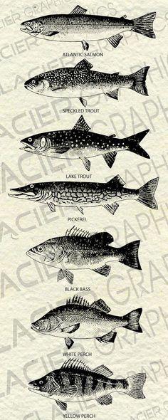 Dies ist eine Auflistung für sieben digitale Jahrgang Atlantic Fisch Illustrationen aus dem späten 1800 s. Diese Illustrationen wurden von
