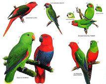 Vintage Bird Print - Josefine Lory, Ecelctus Papagei, Schwalbensittich, Wellensittich, Königssittich - 1990 Jahrgang Buchseite - 11 x 9