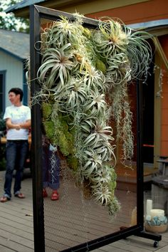 "tillandsia display - Awesome display of ""Air Plants"""