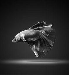 Stunning portraits of Siamese fighting fish