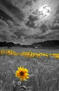 My one and only beautiful sunflower Sunflower Pictures, Sunflower Art, Splash Photography, Nature Photography, Color Splash Photo, Wow Photo, Sunflowers And Daisies, Sunflower Wallpaper, Flower Phone Wallpaper