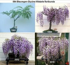 Bonsai Garden, Bonsai Trees, Juniper Bonsai, Single Tree, Outdoor Projects, Outdoor Gardens, Flora, Spaces, Landscape