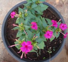 Four O Clock Seeds- PINK (Mirabilis Jalapa pink) Plants thrive in all zones, blooming all summer long