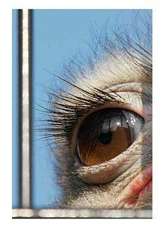 Categorie: Dieren foto's Struisvogel oog  Prijs per kaart vanaf: € 2,65 excl. porto Wenskaart is geheel naar eigen wens aan te passen, tekst, figuur of foto. www.wenskaartenshop.droomcreaties.nl