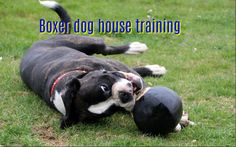 Boxer dog is the best pet dog choice among dog lovers around the globe. They are exceptional, extraordinary and playful companions. They are wonderful family protectors and possess a genuine clownish nature. In addition to their genius, their physical appearances are also tantalizing.