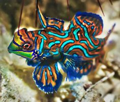 Find tropical fish stock images in HD and millions of other royalty-free stock photos, illustrations and vectors in the Shutterstock collection. Thousands of new, high-quality pictures added every day. Marine Aquarium, Marine Fish, Saltwater Aquarium, Aquarium Fish, Saltwater Fishing, Beautiful Tropical Fish, Beautiful Fish, Animals Beautiful, Poisson Mandarin