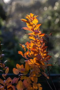 Smoke bush - amazing colour this time of year.