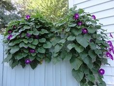 morning glory Flower | Morning Glories-really wanting these in the backyard!!
