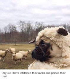 Pugs have a variety of facial expressions. For that reason, pug memes are funny and I hope these 101 dog memes featuring pugs bring a smile to your day! Pug Pictures, Funny Animal Pictures, Funny Animals, Cute Animals, Pug Meme, Funny Dogs, Cute Dogs, Funny Fails, Animal Humor