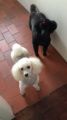 Vanilla Rose and Sophie, my mini poodles. Red Poodles, Mini Poodles, Standard Poodles, Miniature Dog Breeds, Lap Dogs, Training Your Puppy, Bichon Frise, Pet Grooming, Dog Pictures
